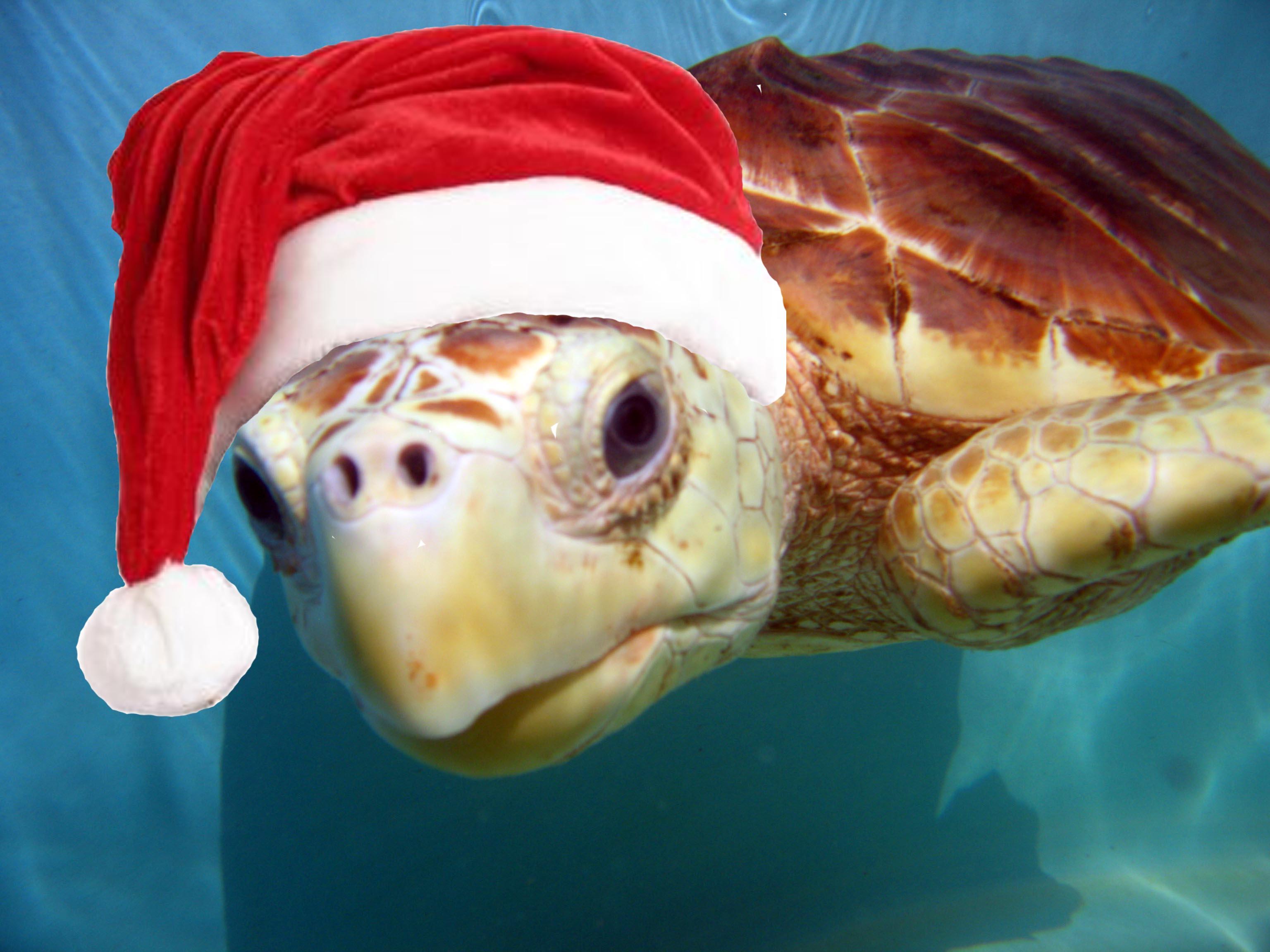 Výsledok vyhľadávania obrázkov pre dopyt turtle xmas