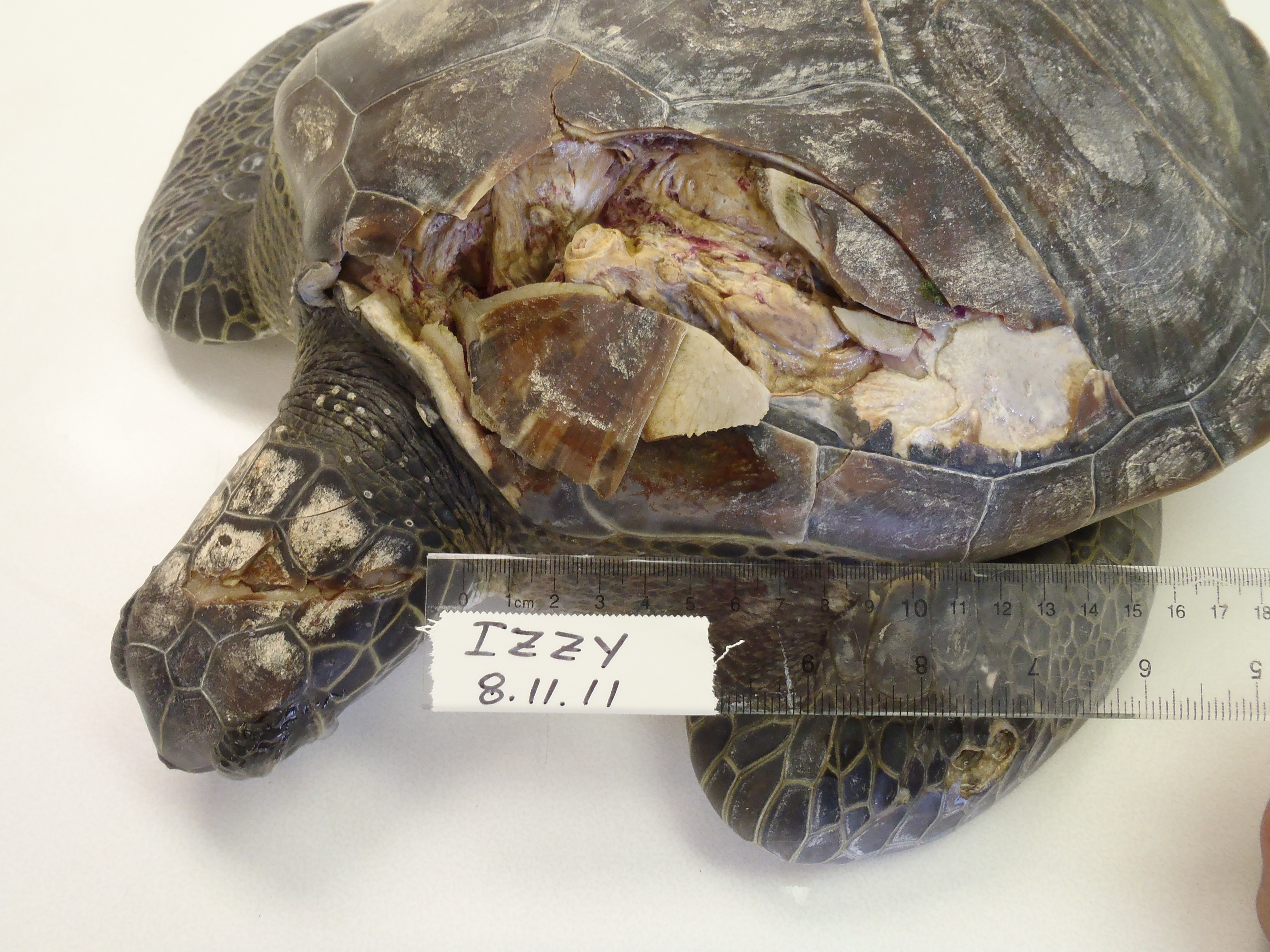 update on izzy � the turtle hospital rescue rehab release