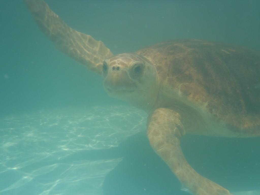 Hilary swimming level along the bottom of her tank