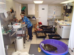Rehabbers Marie and Devin checking heart rates, breathing for the turtles, and ensuring they wake up successfully from their anesthesia