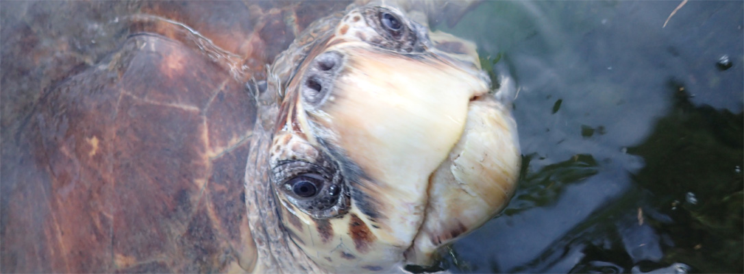 How You Can Help – The Turtle Hospital  Rescue, Rehab, Release