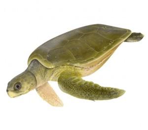 Sea Turtle Species – The Turtle Hospital  Rescue, Rehab