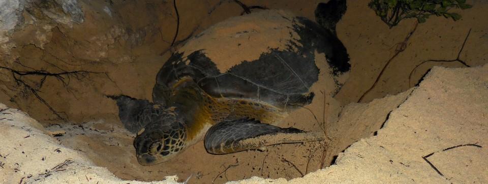 Cuba turtle in nest close up
