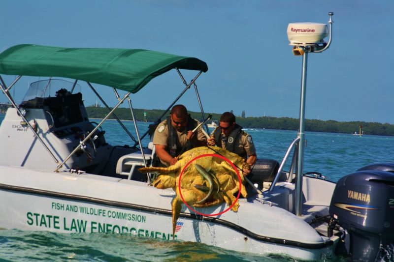 FWC rescuing a loggerhead with fish stuck to the underside (circled in red)