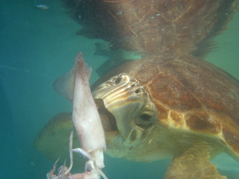 turtle eating squid