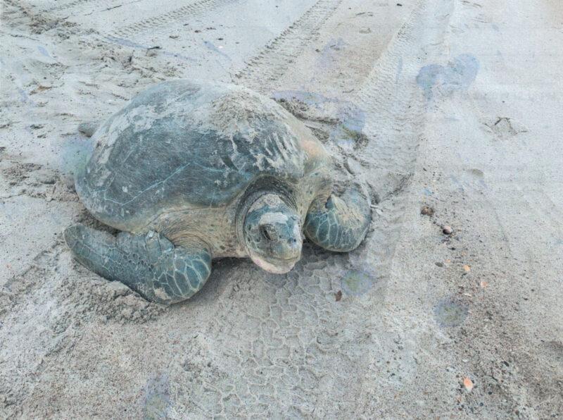 tagged turtle on beach