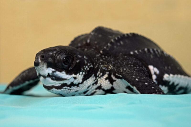 juvenile leatherback