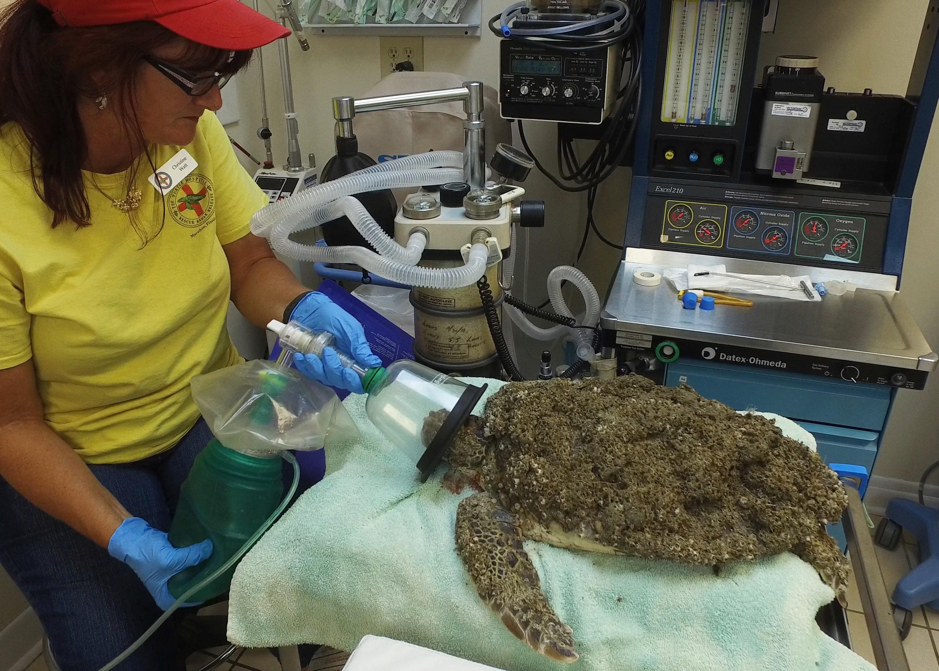 juvenile green encrusted in barnacles receiving oxygen treatment Chrissy Watt TH staff photo credit Florida Keys News Bureau edited